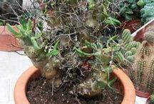 caudex / fat plant