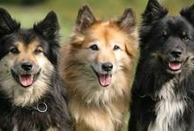 Ijslandse honden / Een prachtig ras, vooral de 'rode' vind ik erg mooi.