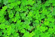 St. Patrick's Day / It doesn't take a four-leaf clover to successfully celebrate and have fun this St. Patty's Day - check out these links for all things Irish.