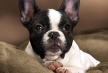 <3 French Bulldog <3