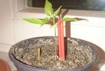 My Chili / Chili and gardening