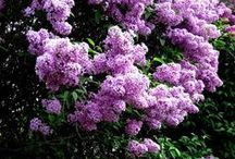 Lilac / by Catherine Murphy