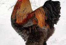 Backyard brahma chicken