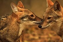 Pairs of Jackals / by Anne Thomas