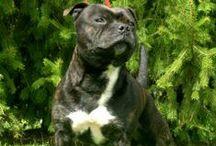 Ramses - Staffordshire bull terrier / L2hga & Hc clear HD:B