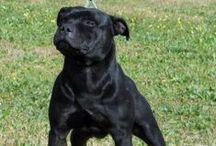 Black Bomber - Staffordshire bull terrier / L2hga & Hc clear HD:A testato ed esente da cardiopatie ed oculopatie SOVI