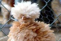 Pets.... / Chickens .... just because I think they are cute...
