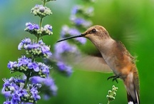 Birds - hummingbirds / by Ulrike Grace