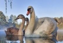 Birds - Swans / by Ulrike Grace