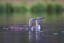 Birds - Loons / by Ulrike Grace