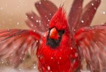 Birds - Cardinal / by Ulrike Grace