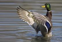 Birds - Ducks / by Ulrike Grace