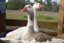 Birds - Geese / by Ulrike Grace