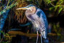 Birds - herons / by Ulrike Grace