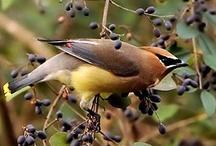 Birds - Waxwing / by Ulrike Grace