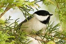 birds - Chickadee / by Ulrike Grace