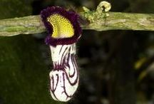 """Aristolochiaceae """"Dutchmans Pipe"""" / attracts bugs with smell (bad smell LOL) so bugs get covered with pollen and transfer it to other flowers. / by Pamela Seeley Sorrels"""