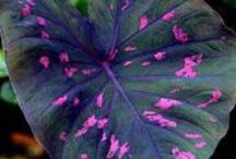 Caladiums / It is a member of the Araceae (Arums) family of plants and is native to South America. / by Pamela Seeley Sorrels