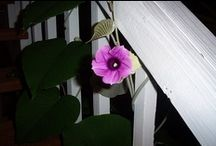 Woolly Morning Glory (Argyreia Nervosa) /  is a perennial climbing vine that is native to the Indian.  Not to be confused with the Hawaiian Woodrose (Merremia tuberosa). / by Pamela Seeley Sorrels