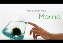 """Marimo (Mer-im-o) """"Moss Balls"""" / Aegagropila linnaei, known as Marimo (毬藻?, literally """"ball seaweed"""") in Japanese and as Cladophora ball, Lake ball, or Moss Balls in English, is a species of filamentous green algae (Chlorophyta) found in a number of lakes in the northern hemisphere. A marimo is a rare growth form of the species where the algae grow into large green balls with a velvety appearance. Colonies of such balls are only known to form in Iceland, Scotland, Japan and Estonia..  / by Pamela Seeley Sorrels"""