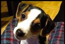 My name is Lilly / Our dog. Tanskalais-ruotsalainen pihakoira. Danish-swedish farm dog.