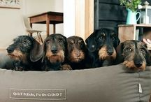 • dogs / Mostly Wire haired Dachshunds...because I have one and they are #doggoals