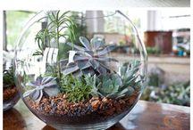 Green / Air plants - plantes aériennes - terrarium-plantes