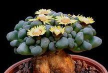 Cactus and succulents / növények