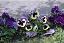 My flowes / virágok