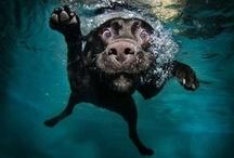 Labrador Retriever / Eine Bildersammlung mit Labrador Retrievern