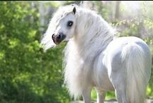 Ponies / Big spirit in the small body  :)