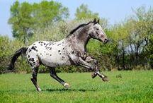 Appaloosa coloured horses