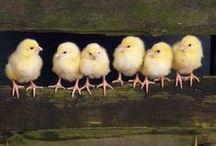 Chicken Heart / Chickens!
