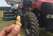 In the Peanut Patch / The Peanut Patch before and during the harvest - these green peanuts are harvested, canned and boiled in the can within hours.