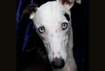 greyhounds / Not just Greyhounds…