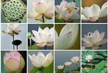 Waterlilies & Pond Fish