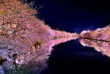 Sakura - 桜 - Cherry Blossoms / by Yuka