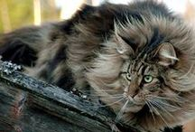 FELINES--MAINE COON CAT & NORWEGIAN FOREST CAT / I once had a Maine Coon. Its been years and I still miss her. She was the funniest, smartest, most loving cat I've ever known. The Maine Coon and Norwegian are similar in looks I'm told. I'd love to meet one. / by Pat Fortier