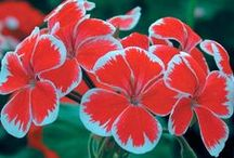 beauty of pelargonium