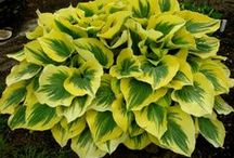 beauty of hosta