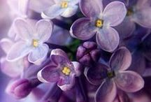 ◇ Colours ÷  Lila :: shades of purple, lilac & violet