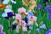 Kosatec (Iris) / květiny