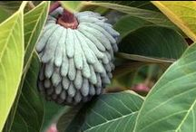 Fruit Trees / Subtropical Fruit Trees that can grow in California