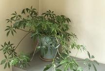 A foliage plant