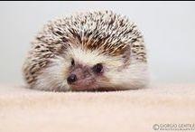 Hedgehogs <3
