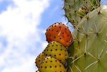 Cactus / קקטוסים,  בעלי גבעול מעובה / by Hadassa Affias