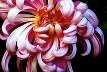 Chrysanthemums  / by Marilyn Swartz