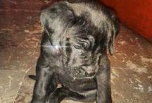 Cane Corso doggies!!  / A dog breed to adore!!!