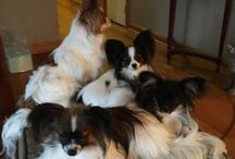 A Circle Of Love's Breeding or soon to be Breeding Females~~ / Our Papillon's are a true part of our family. Our females Are bred from 2 years until their sixth year and then  spayed and spend the rest of their life's retired here on the farm with us!!