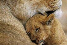 LIONS         Λιοντάρια